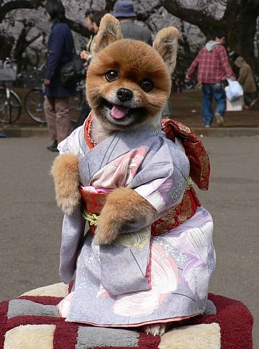 cute dog pictures funny. Super cute dog in kimono
