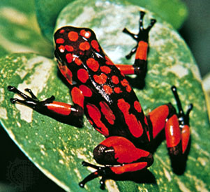 colorful frog - poison frog
