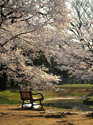 sakura - japanese flowering cherry